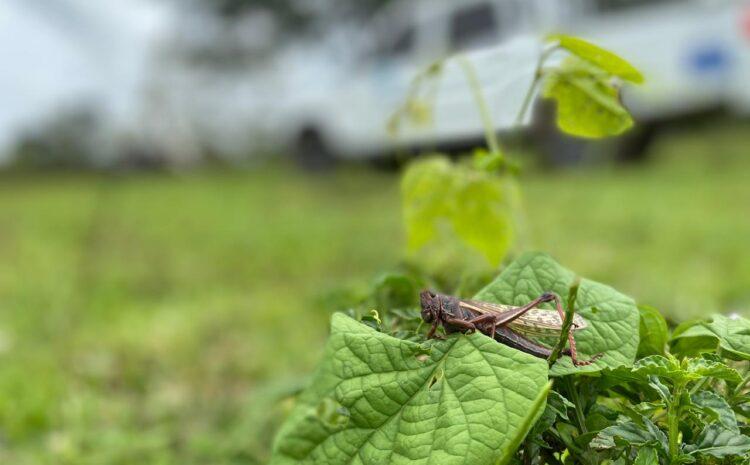 MAGA continúa acciones para erradicar la plaga de langosta voladora en Petén