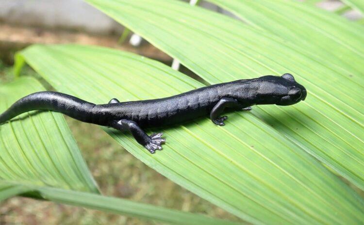 Estudiantes de biología descubren una nueva especie de salamandra en Guatemala